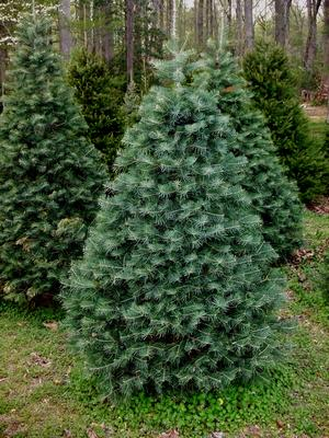 Delaware Christmas Tree Growers Association - Firs, Spruces and Pines