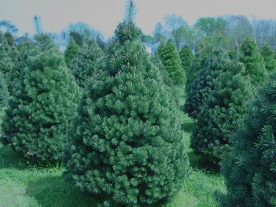 Prune Christmas Trees