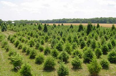 trees at evergreen farms